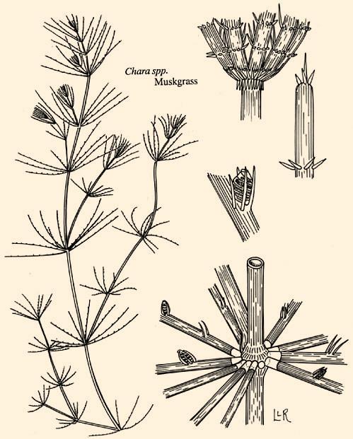 Chara-Branched Algae