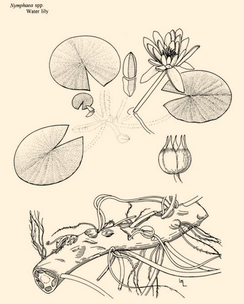 diagram of tiger lily diagram of water lily parts of a water lily flower pictures to pin on pinterest