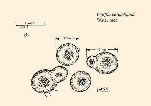 Watermeal