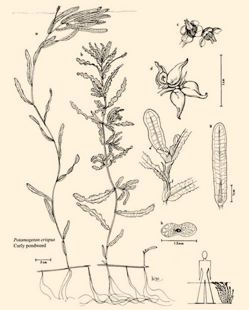 Curly-Leaf Pondweed