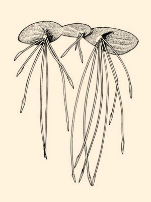 Giant Duckweed