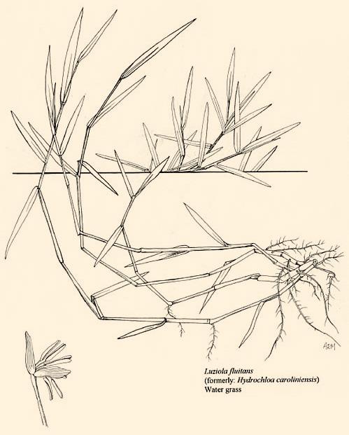 Water Stargrass
